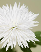 Chrysanthemum - a symbol of the Sun