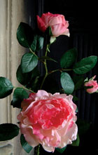 How to treat domestic roses