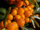 Buckthorn - red noli
